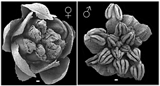 Electron micrographs of female and male flowers of Amborella trichopoda. Photos: P.Rudall and M.Box.