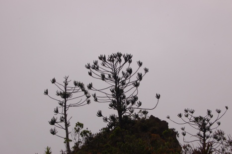 Araucaria muelleri on the western summit ridge of the Monts Koghi. Photo Tim Waters