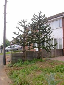 450px-Small_Garden_with_Two_Monkey_Puzzle_Trees_-_geograph.org.uk_-_182440