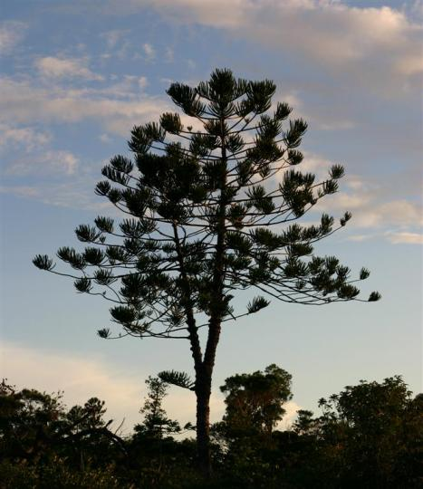 Araucaria nemorosa is own of the word's rarest conifers.