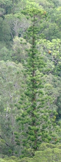 Araucaria sublata Photo Daniel Létocart