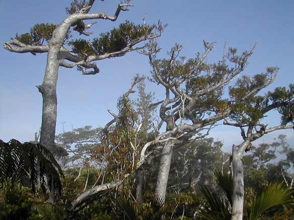 Agathis montana