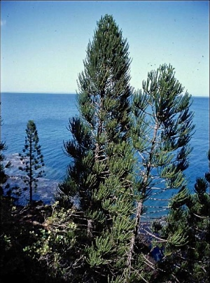 The lush araucaria is found in the serpentine soils of the coastal cliffs, often upland from Cook pines.