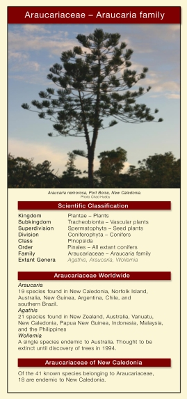 Araucariaceae table