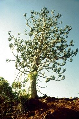 Araucaria rulei Photo © IRD