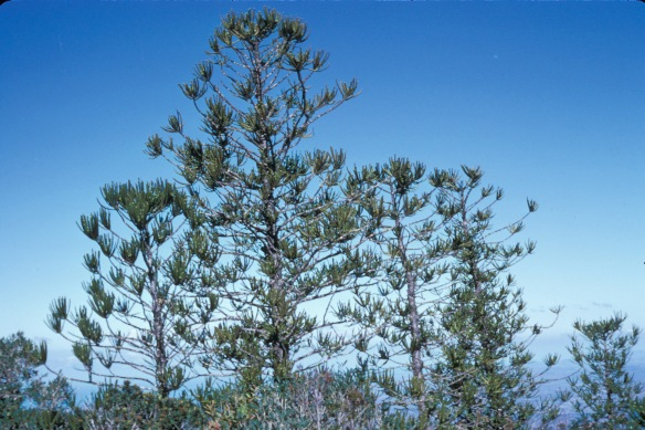 Mount Mou araucaria