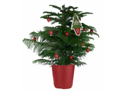 "Cook pines sold as Norfolk Island pines are popular as an ""eco-friendly"" Christmas tree."