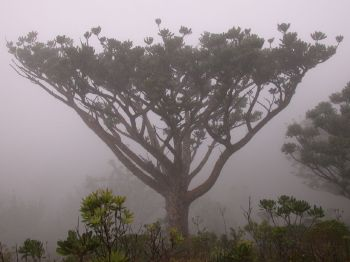 Agathis ovata (Araucariaceae) in the mists of Monts Dzumac. Photo: Tim Waters.