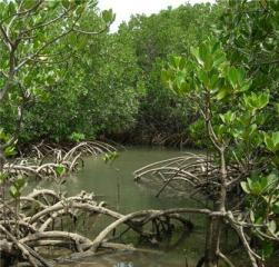 Mangrove swamp, New Caledonia. Photo E. Coste © IRD