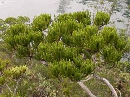 Neocallitropsis pancheri (Cupressaceae). Photo Tim Waters.