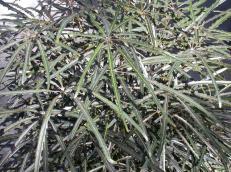 False aralia or Schefflera elegantissima is a popular houseplant from New Caledonia.