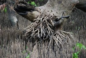 Arial roots (pneumatophores) of the grey mangrove, Avicennia marina var resinifera - Barker Inlet, South Australia.