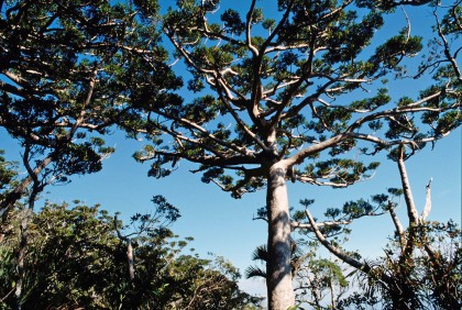 Agathis montana (Araucariaceae) Photo © Bernard Surpin.