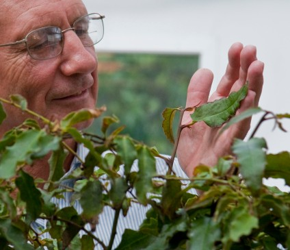 University of Florida biologist Douglas Soltis examines a leaf on an Amborella trichopoda plant in the Florida Museum of Natural History greenhouse on the UF campus. The large shrub found only on the South Pacific island of New Caledonia is the closest living relative of the earliest angiosperms, or flowering plants. Photo (Florida Museum of Natural History, photo by Jeff Gage)