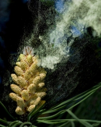 Wind-pollinated gymnosperms like this conifer produce a great deal of pollen.  [Credit: http://www.pollinator.ca/canpolin/wind_pollination.html]