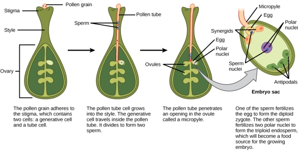 Thanks to double-fertilization the endosperm, the tissue that fuels the growth of a new plant,