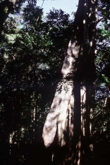 Agathis trunk in rainforest of Mount Koghi. Photo ©IRD