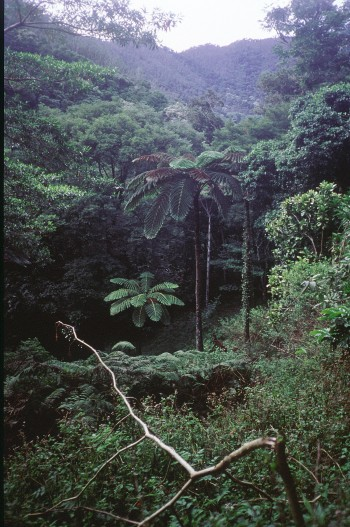 Giant tree ferns in high elevation rainforest of the Dogny plateau. Photo Denis Wirrmann/ ©IRD