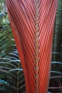 New fronds of Kentiopsis Magnifica begin life a vibrant red.  In a week, they turn the conventional green.  Photo ©IRD