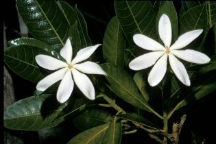 New Caledonia Tiaré has a magnificent scent.  Gardenia aubreyi (Rubiaceae)  ©IRD