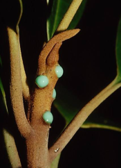 Pycnandra acuminata. The sap is a blue color because of high concentration of nickel (25 %). Photo © Bernard Suprin.